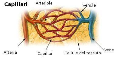 capillari-vene-arterie
